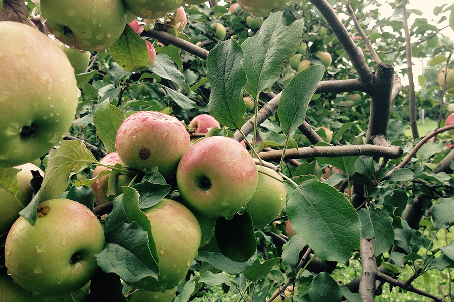 Wealthy Apples